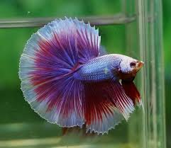 Siamese Fighting Fish Price | Articles And Information Betta Fish Siamese Fighting Fish