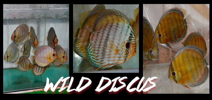 Wild discus for sale