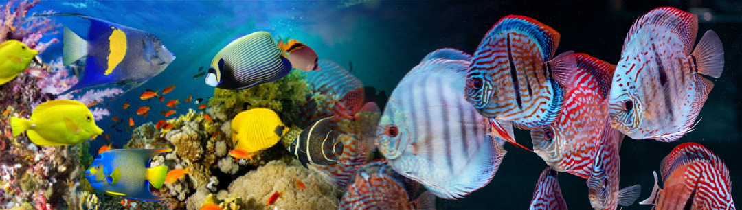 Articles and information betta fish siamese fighting for Discount aquarium fish and reef