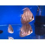 Gold Coast Discus