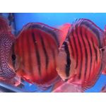 ICA Red Discus