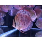Red Sakura Discus Living Reef Aquariums