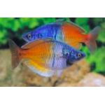 Boesmani Rainbow fish-Living Reef Aquariums
