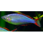 Praecox rainbowfish