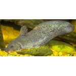 Tandanus Catfish